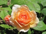 Apricot - beautiful rose